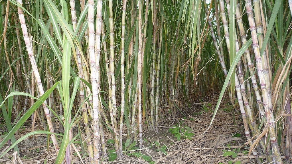 sugarcane03