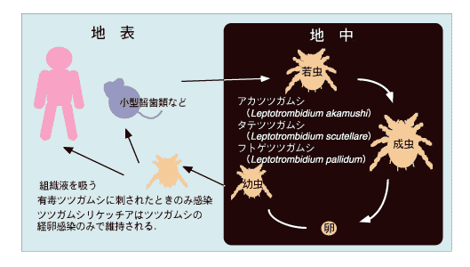 tsutsugamishi
