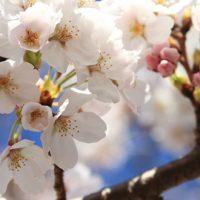 チェンライが日本の桜で新たな観光地開発
