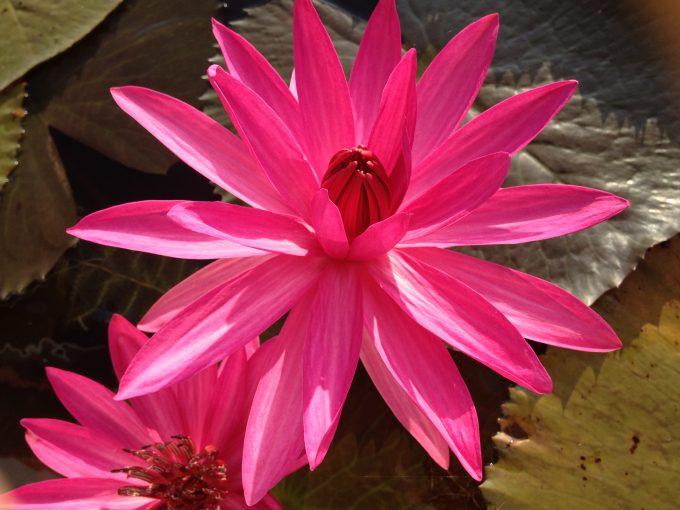 suiren-pink