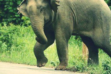 野生の象と一般車