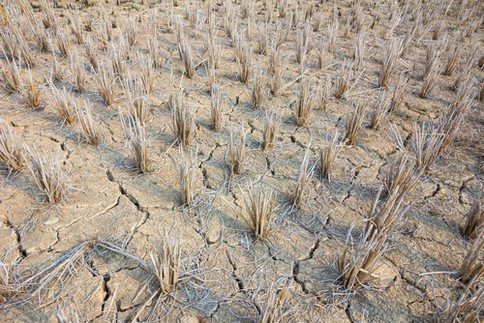 苗の干ばつ被害