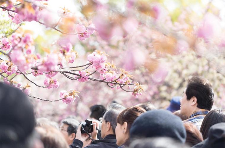 桜の開花が影響