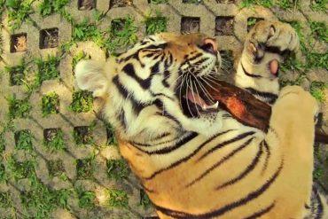 タイのトラ騒動