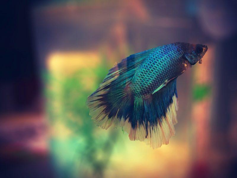 iPhoneの壁紙でもおなじみとなった魚「ベタ」