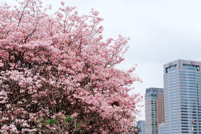 """""""タイ桜""""「チョンプー・パンティップ」が見頃に ©Thai PBS(by Patcharakorn Pemwattana)"""
