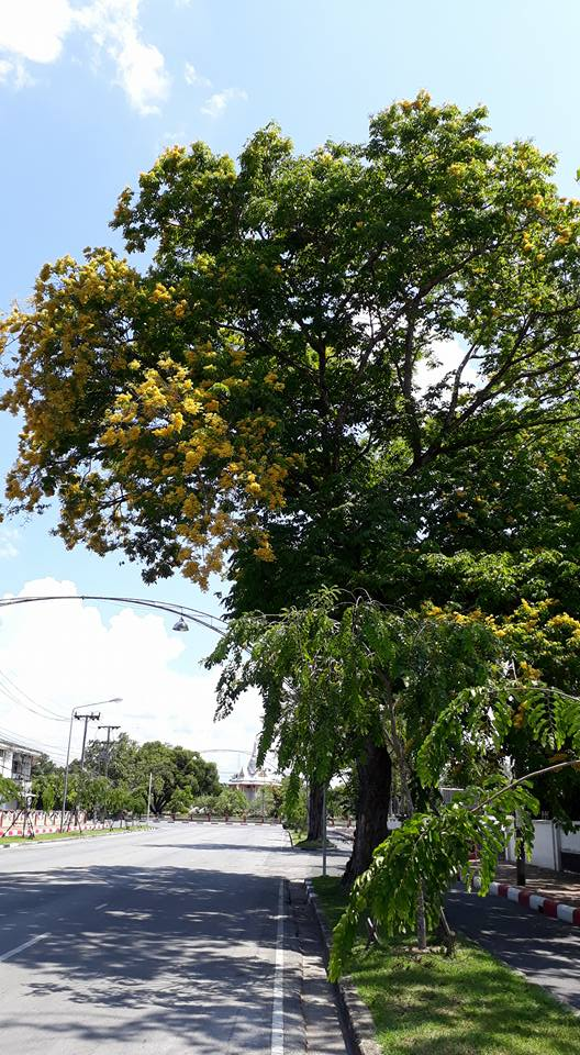 ヤラー市の主要な道路の1つであるスックヤーン通りのカリンの木 ©Yalacity(facebook)
