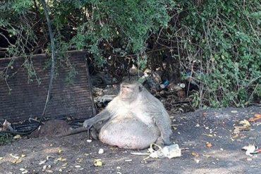 バンコクのバーンクンティアン区で見つかった「太り過ぎの猿」 ©posttoday