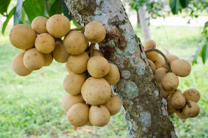 生の果物輸出量第5位のロンコン ©Thai Health Promotion Organization