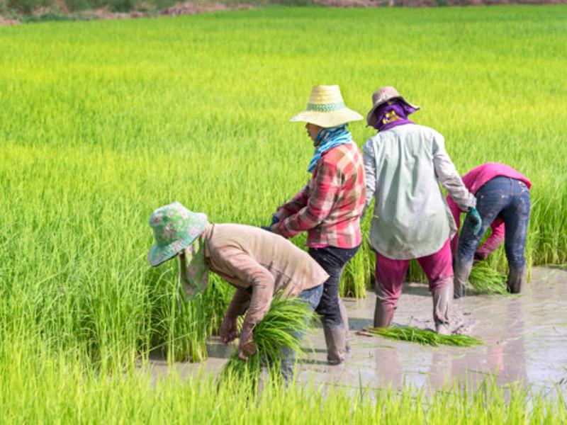 タイ人の田植え作業