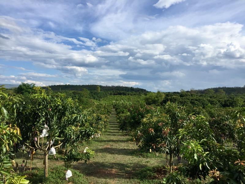 チェンマイのマンゴー畑