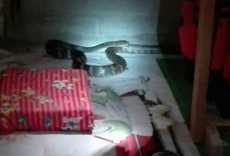 寝室に現れた蛇
