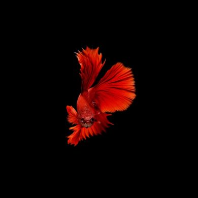 Betta image by stmed